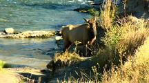 Elk In Yellowstone National Park Gardner River