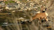 Bighorn Sheep Drink Gardner River In Yellowstone National Park