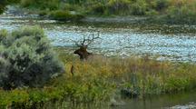 Rut Bull Elk Wallows On Gardner Riverbank In Yellowstone National Park