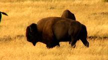 Bison Walk In Yellowstone National Park Lamar Valley