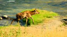 Elk Calf Navigates Gardner River Yellowstone National Park
