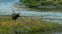 Rut Bull Elk Bugles On Gardner Riverbank In Yellowstone National Park