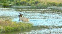 Rut Bull Elk Groom Behavior Gardner River Yellowstone National Park
