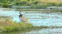 Rut Bull Elk Groom Behavior In Gardner River Yellowstone National Park