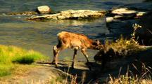 Elk Calf Navigates Gardner River Yellowstone National Park
