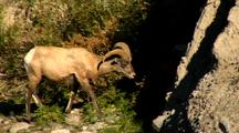 Bighorn Sheep Ram Walks Gardner Riverbank In Yellowstone National Park