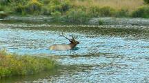 Rut Bull Elk Groom Behavior Gardner River In Yellowstone National Park