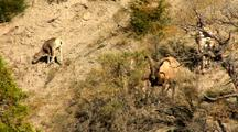 Bighorn Sheep Graze On Rocky Slope In Yellowstone National Park