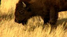 Bison Scuffle Behavior In Yellowstone National Park Lamar Valley