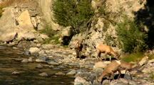 Bighorn Sheep Walk Along & Drink Gardner River In Yellowstone National Park