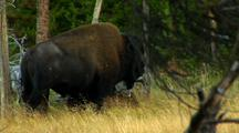 Bison Bull Rubs On Tree In Wood & Grass Area Yellowstone National Park