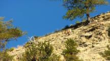 Bighorn Sheep Walk Down Steep Rugged Slope In Yellowstone National Park