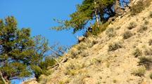 Bighorn Sheep Run Down Steep Rugged Slope In Yellowstone National Park