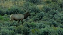 Elk In Yellowstone National Park During Rut