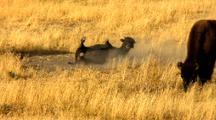 Juvenile Bison Wallow Behavior In Yellowstone National Park Lamar Valley