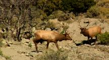 Two Bull Elk Encounter During Rut Yellowstone National Park
