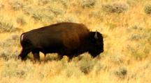 Bison Graze In Yellowstone National Park Lamar Valley