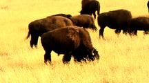 Bison Graze In Yellowstone National Park Lamar Valley Meadow