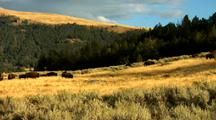 Bison In Yellowstone National Park Lamar Valley Hilltop Sun Scenic