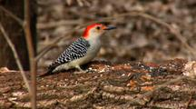 Red-Bellied Woodpecker Feeds