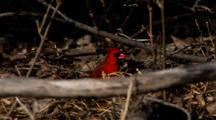 Northern Cardinal Feeds