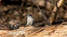 Downy Or Hairy Woodpecker Feeds