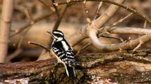 Two Hairy Woodpeckers Compete For Food