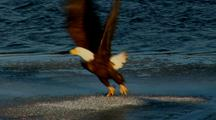 Bald Eagle Raptor Fly To Riverbank Eats Prey