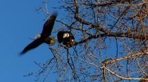Bald Eagle Raptor Gets Kicked Off Tree Branch