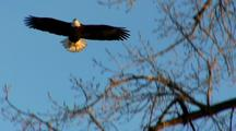 Bald Eagle Raptor Lands On Tree Branch