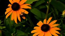 Bug On Black-Eyed Susan