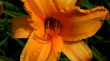Daylily Rocket City With Raindrops On Petals