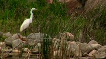 Great White Egret Stands On Rock Flies Away