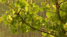 Steady Rain Falls On Tree Branch