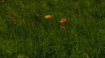Orange Flowers Sway In Breeze