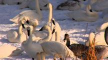 Trumpeter Swans Rest And Groom On Snow