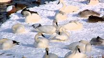 Trumpeter Swan Group Rests And Grooms On Snow