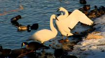 Two Trumpeter Swans Rest On Riverbank With Other Waterfowl