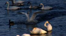 Trumpeter Swan Lands On River Amidst Large Group Of Waterfowl