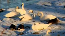 Trumpeter Swans Groom In Sunlight On Riverbank Next To Canada Geese