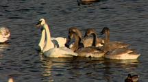 Cygnet And Adult Trumpeter Swans Exhibit Social Behavior In Water