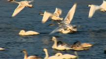 Trumpeter Swans Run On River Then Take Off
