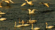 Trumpeter Swans Land On River Among Cygnets And Adults