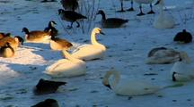 Trumpeter Swans And Canada Geese Rest On Snow