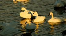 Trumpeter Swans Rest Near Riverbank