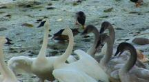 Cygnet And Adult Trumpeter Swans Exhibit Social Behavior