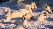 Trumpeter Swans Sit On Snow And Groom