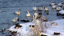 Trumpeter Swans Rest Near Riverbank