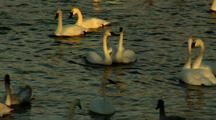 Two Pair Of Trumpeter Swans Bob Necks On River