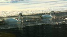Two Trumpeter Swans Submerge Heads Into Lake